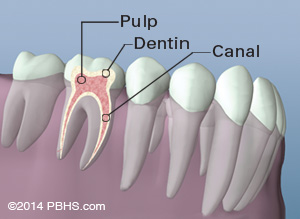 A tooth anatomy diagram highlighting pulp dentin and canal, areas that can often become compromised by tooth rot and decay, leading to the need for dental fillings and root canals.